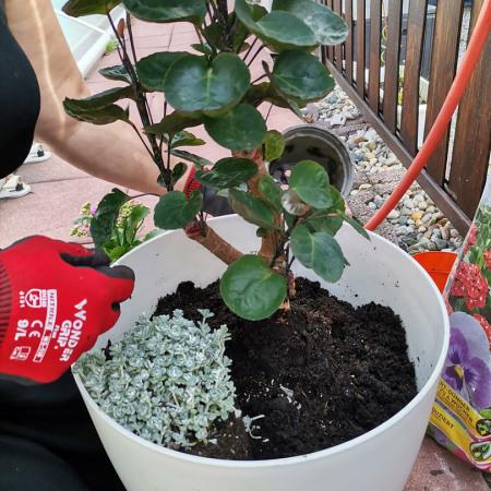 Eine Pflanze Ihrer Wahl würd in den Blumentopf eingepflanzt